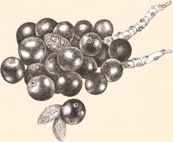 Fruto superantioxidante, muy valorado por su alto contenido en proteinas vegetales.