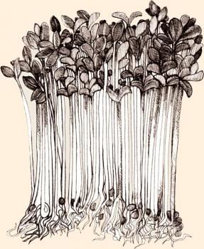 Brotes de alfalfa