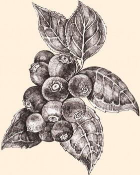 Fruta alta en fibra y vitamina C y K. Rica en Manganeso.