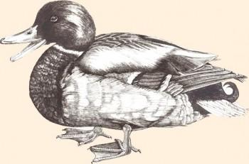Pato de Gressingham