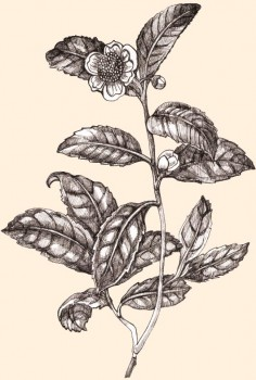 Hecho de las hojas de la planta de Camellia Sinensis, disminuye los niveles de grasa y es un magnífico antioxidante.