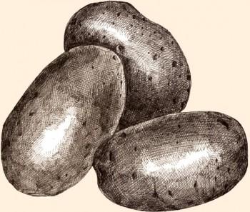 Patata Russet