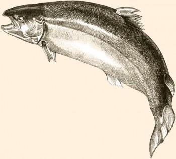 Salmón del Atlántico escocés. Una fuente única de Omega-3 (DHA y EPA).