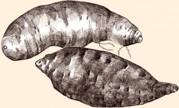 Batata Beauregard y Jewel