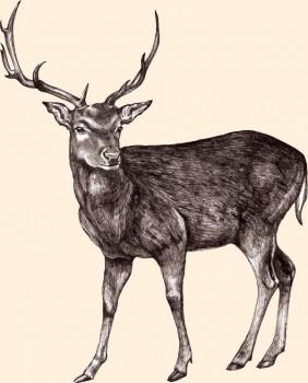 Ciervos rojos y Gamos criados en libertad en Yorkshire, Reino Unido.